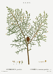 Chinese weeping cypress (Cupressus pendula) illustration from Tr