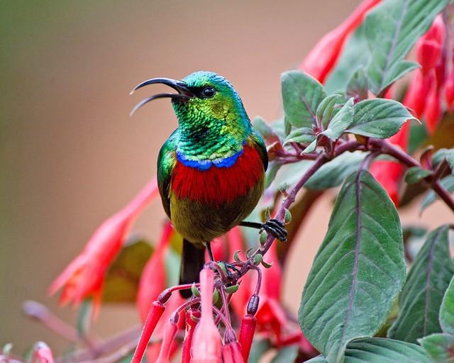 Eastern Double collared Sunbird