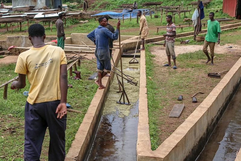 Làm việc tại trạm chế biến ướt của Ethiopia