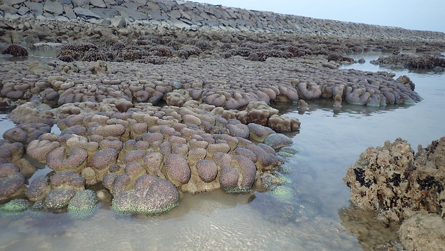 Anemone coral (Goniopora sp.)