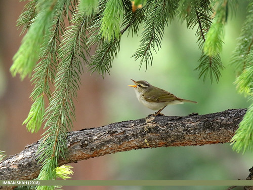 Western Crowned Warbler (Phylloscopus occipitalis)