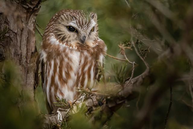 Saw-Whet Owl #4 (lifer explored 1/7/19), Nikon D500, Sigma 150-600mm F5-6.3 DG OS HSM | S