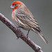 Common Male House Finch Showcasing Its Feathers