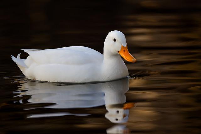 White duck (2/2)