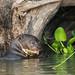 9K0A3162 Giant Otter, Pteronura brasiliensis.