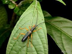 Longhorn beetle, Disteniidae