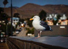 Pacific Gull at the Cayucos Pier No 7