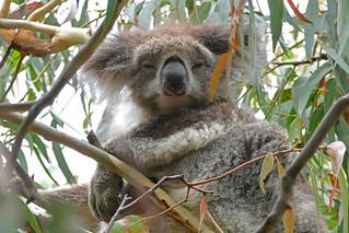 Koala, Kennett River, Victoria, Australia