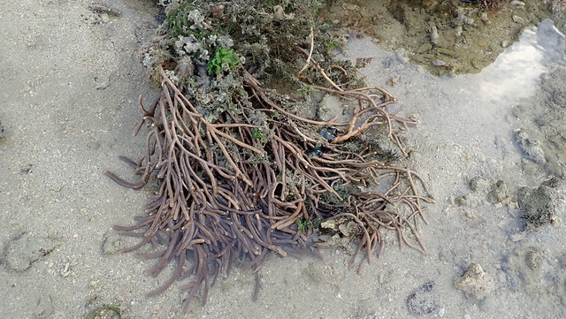 Leathery sea fan (Family Gorgoniidae)