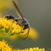Wasp Sp.