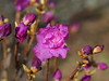 Photo:Korean rhododendron (Rhododendron mucronulatum var. ciliatum, ゲンカイツツジ) By Greg Peterson in Japan
