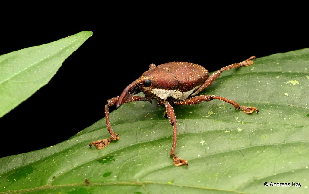 Weevil, Cholus sp., Curculionidae