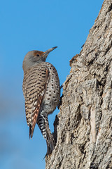 Female, red-shafted Northern Flicker