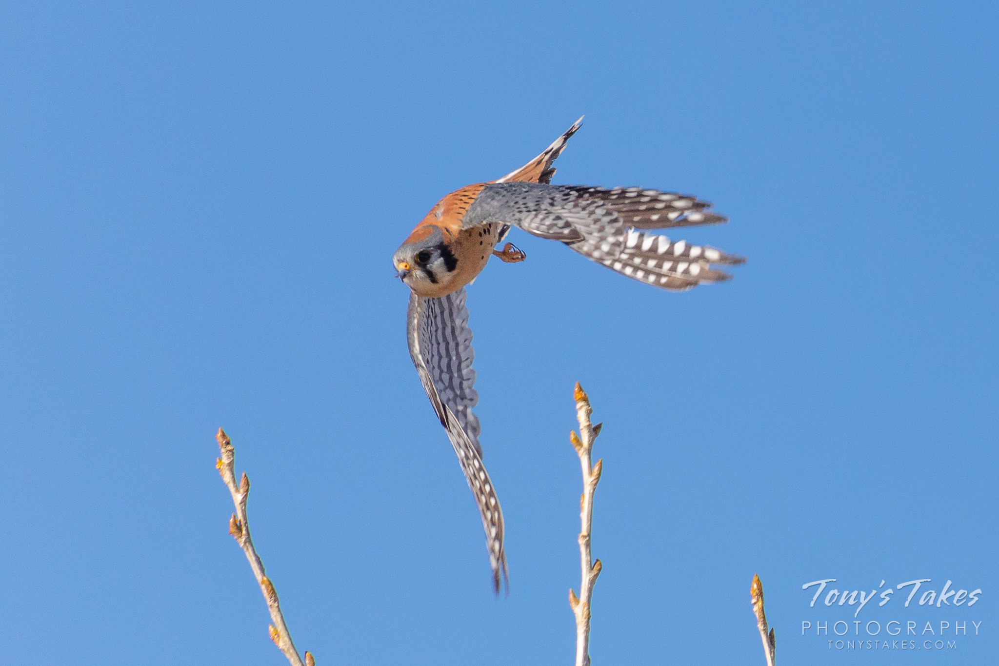 A male American Kestrel leaps into action in Thornton, Colorado. (© Tony's Takes)