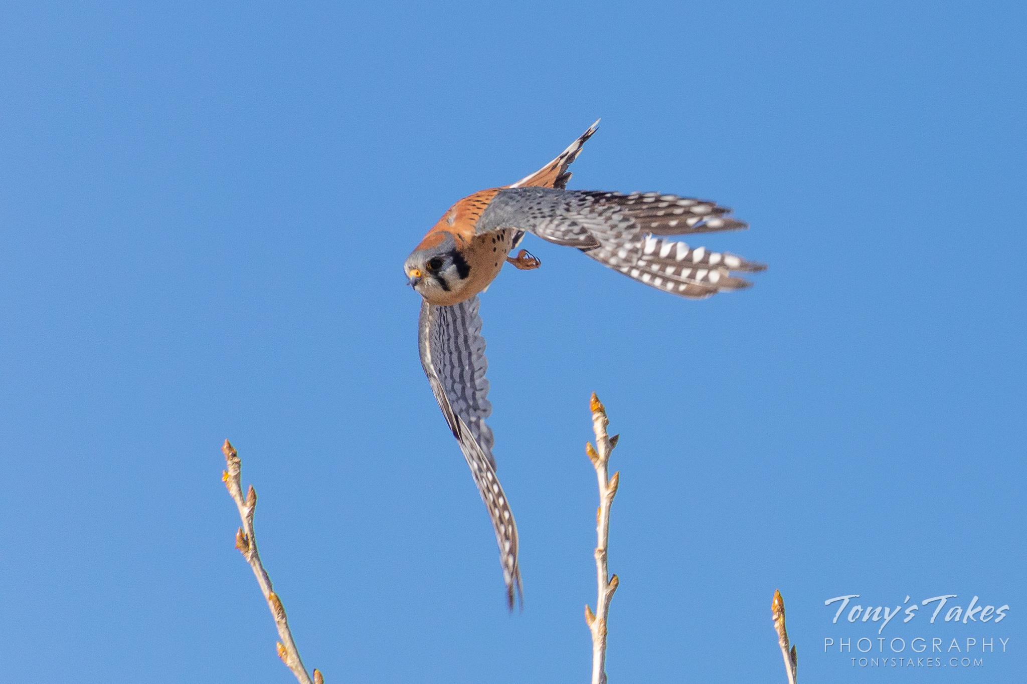 American kestrel takes to the skies