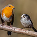 Robin & Long-tail by Haydn Bartlett Photography