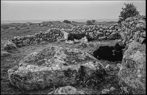 Spiddal cows, County Galway, Ireland, 1982