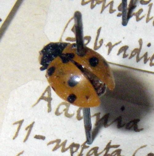 Hippodamia undecimnotata 47195790871_a2642ac5cc_o