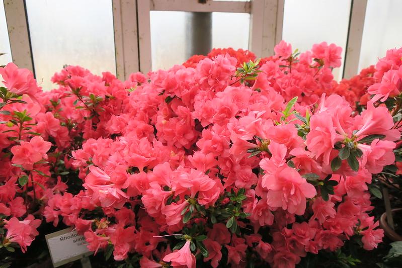 """Rhododendron simsii """"Ilario"""""""