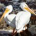 Hard Rock Pelicans