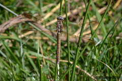 Orthetrum coerulescens (Orthétrum bleuissant) - Photo of Pensol