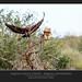 Aquila delle steppe - Aquila nipalensisdi ♂ ♀ @Kruger National Park South Africa