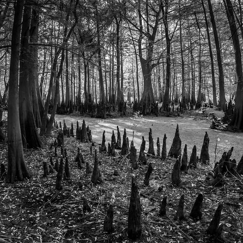 cypress usa tree blackbearwildernessarea infrared water nature sanford landscape calm centralflorida panorama ©edrosack swamp florida ir us