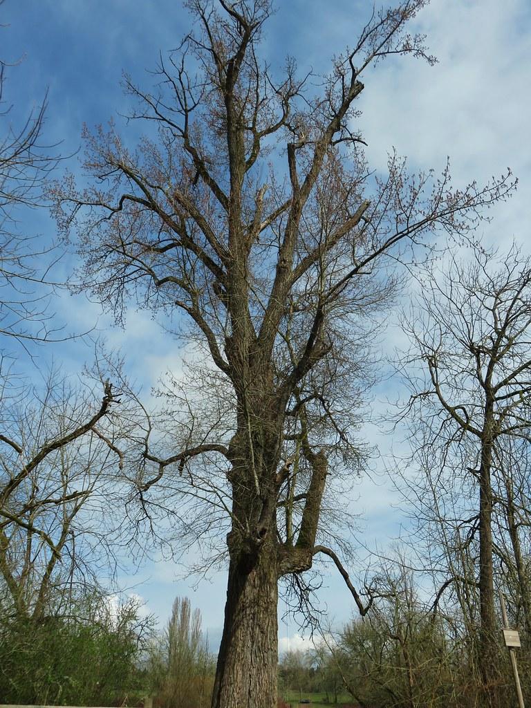 Willamette Mission Cottonwood