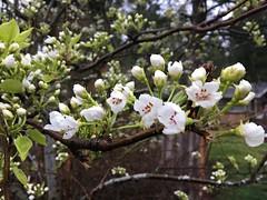 97/365: Bursting into Bloom