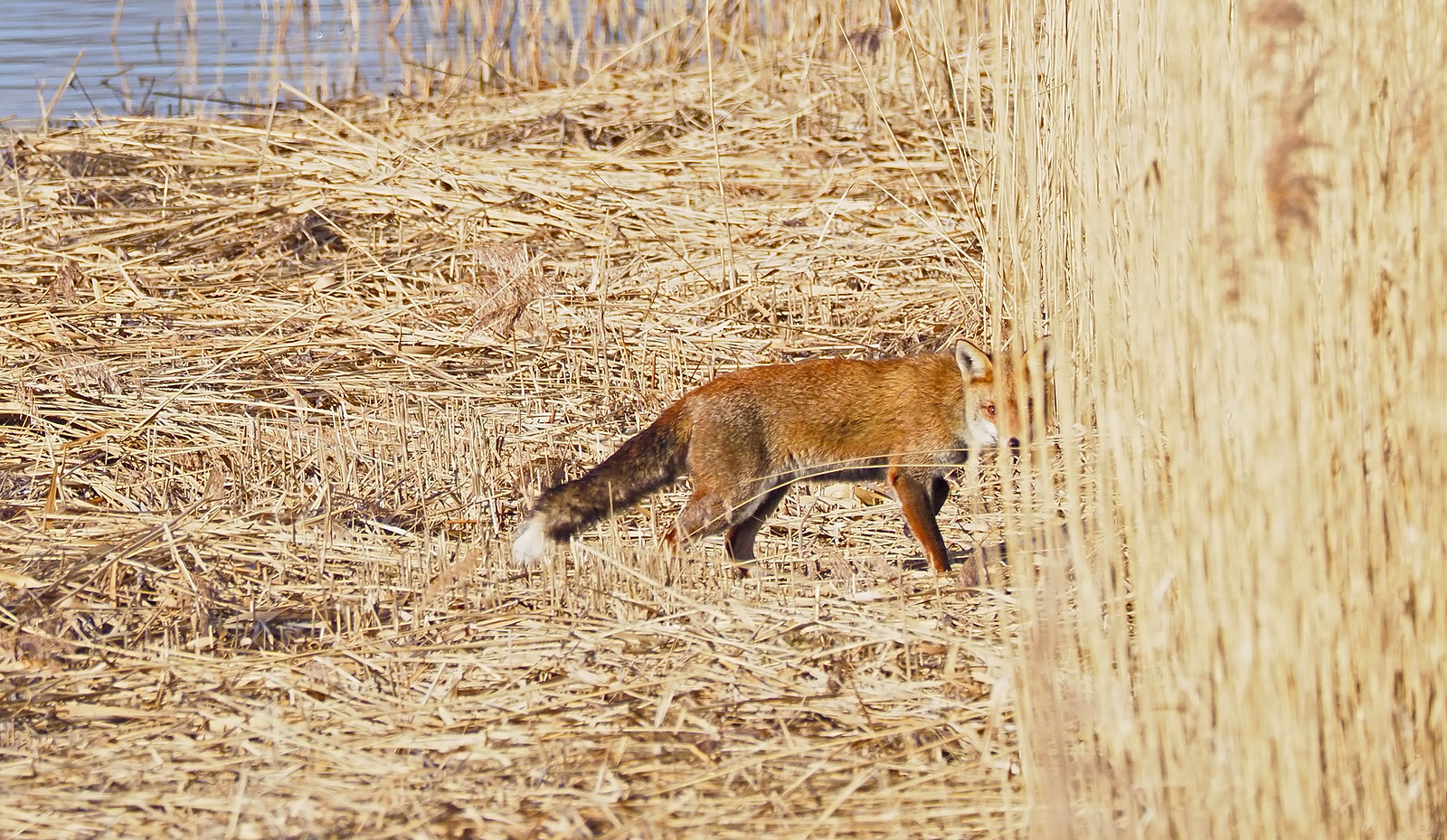 Fox in a reed bed - that look!