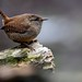 Little wren by davy ren2