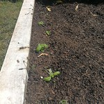 genovese basil planting in Bigger vege bed by shiny