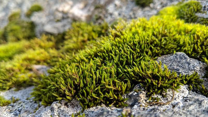 Mardon Down Rocks (south) moss