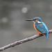 Kingfisher 190317026-2.jpg
