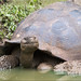 Galapagos Tortoise by Catsbow
