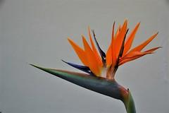 The bird of paradise flower, (Strelitzia reginae).  Nikon D3100. DSC_0572,