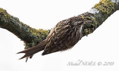 Grimpereau des jardins - Certhia brachydactyla - Short-toed Treecreeper : Michel NOËL © 2019-8677.jpg