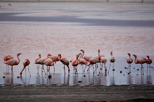 Flamingos laguna colorada Bolivia_3567