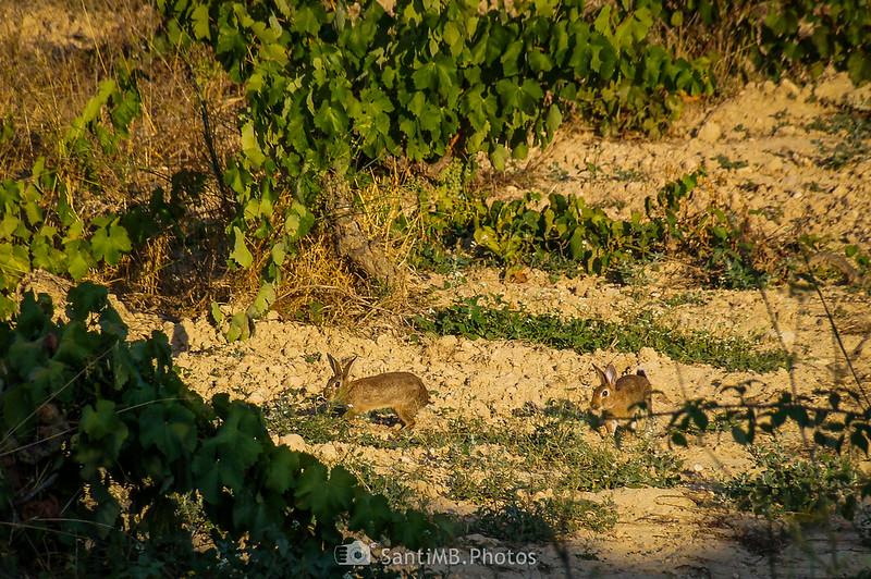Conejos correteando detrás del Castell de Penyafort