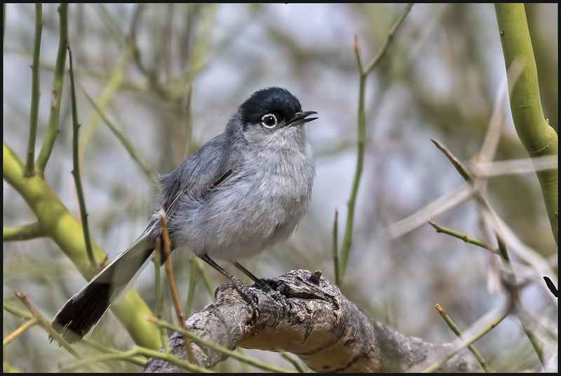 Black-tailed-Gnatcater-6_7D2_300316
