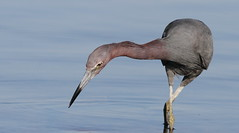 Little Blue Heron, Hudson Beach