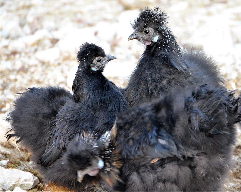 Silky Chickens 04.01 (16)