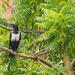 UN CORVO BUANCONERO   ---   A BLACKWHITE CROW