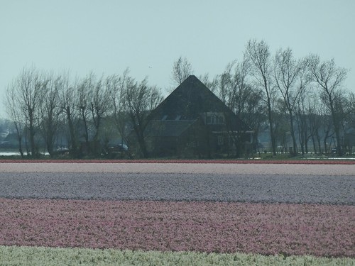 On the way to the beach, tulips