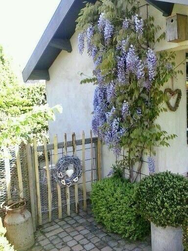 Witte muur blauwe regen tuinhek