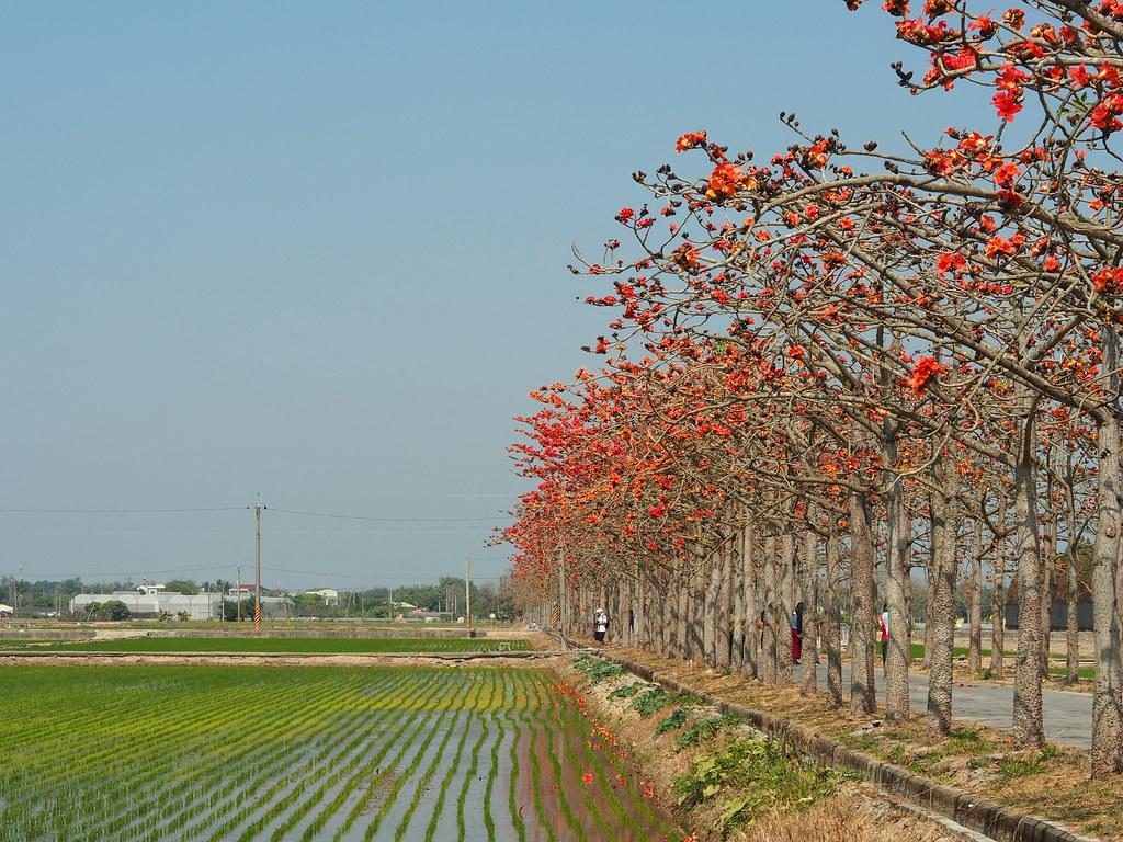 白河木棉花季 (9)