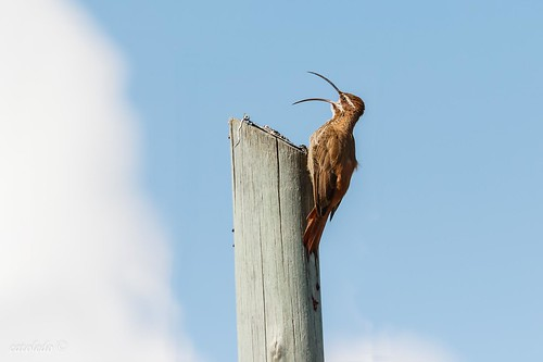 Calling the clouds -Chinchero Grande -Scimitar-billed Woodcreeper#4
