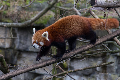Firefox / Red Panda at Tierpark Berlin
