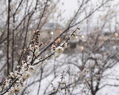 Snow on plum blossoms