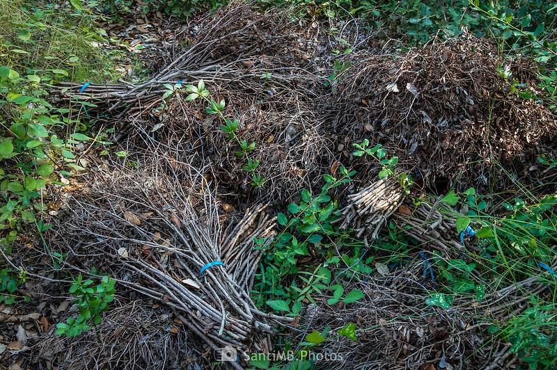 Manojos de lentisco abandonados por los furtivos